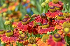 Close-upmening van rode bloemen Stock Foto