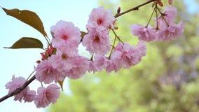 Close-upmening van tedere bloeiende sakurabloemen Japanse Tuin stock footage
