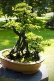 Close upp av en bonsaitree Royaltyfria Foton