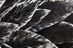 close upp Dekorativ svart fågel Arkivbilder