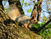 close upp Ekorren sitter på ett träd exponerat av inställningssolen av våren royaltyfria foton