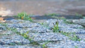 close upp Våta kullersten i staden och gräset mellan stenarna Kvinna i tr?dg?rden arkivfilmer