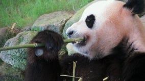 Close-uppanda die bamboe eten stock footage