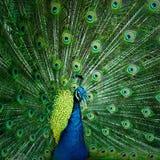 Close-uppauw die mooie veren tonen Royalty-vrije Stock Foto