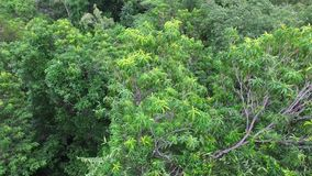 Close upper view of green tall trees. A drone shot above green tall trees living on the mountain stock video footage