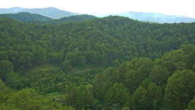 Close Upper View of Green Tops of Pine Forest stock video