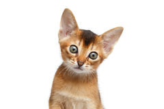 Close-upportret Abyssinian Kitty Looks Curious op Geïsoleerde Witte Achtergrond royalty-vrije stock foto's