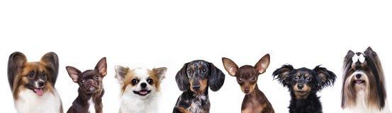 Close-upportret, groep kleine decoratieve hond royalty-vrije stock foto's