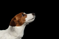 Close-upportret Jack Russell Terrier Dog Looking omhoog in Profiel stock foto