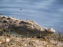 Close-upportret van Afrikaanse krokodil die op bank van Chobe-Rivier, het Nationale Park van Chobe, Botswana, Zuid-Afrika leggen stock afbeelding