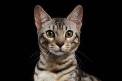 Close-upportret van Bengalen Kitty Looking bij Camera op Zwarte royalty-vrije stock afbeeldingen