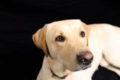 Close-upportret van blond Labrador op zwarte achtergrond royalty-vrije stock afbeelding