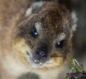 Close-upportret van capensis van Rotshyrax Procavia in Zuid-Afrika Kaapstad, de Berg van de Lijst Dassie stock fotografie