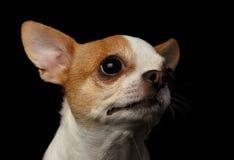 Close-upportret van Chihuahua-Hond op zwarte Stock Afbeeldingen