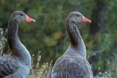 Close-upportret van de grijze ganzen van Anser anser met een lange hals Royalty-vrije Stock Fotografie