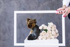 Close-upportret van de terriërhond van Yorkshire met een boeketrozen in omlijsting Royalty-vrije Stock Foto's