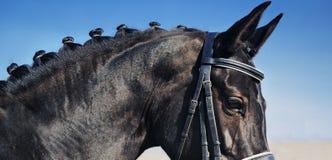 Close-upportret van dressuurpaard met gevlechte manen Stock Foto