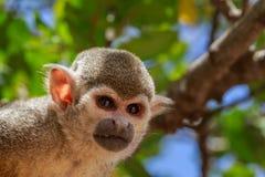 Close-upportret van eekhoornaap royalty-vrije stock fotografie
