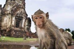 Close-upportret van een aap stock afbeelding