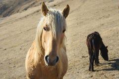 Close-upportret van een beige paard tegen de achtergrond van een kudde van paarden op de gele weilanden van de bergherfst royalty-vrije stock foto