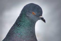 Close-upportret van een duif royalty-vrije stock foto's