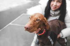 Close-upportret van een geklede hond die met een meisje op een de winterdag lopen Nadruk op het leuke gezicht van de hond stock fotografie