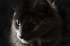 Close-upportret van een grijze kat met grote groene ogen, nadruk op ver oog Royalty-vrije Stock Fotografie