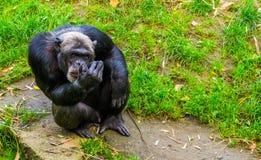 Close-upportret van een grote zwarte chimpansee, Bedreigde primaat van Afrika stock foto's