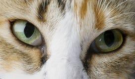 Close-upportret van een huiskat Stock Afbeelding