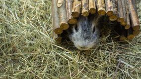 Close-upportret van een Proefkonijn die onder stokken verbergen royalty-vrije stock afbeeldingen