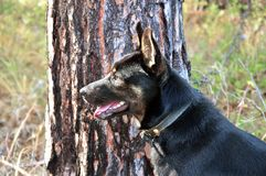 Close-upportret van een volbloed- zwarte hond op een boomachtergrond Royalty-vrije Stock Afbeeldingen