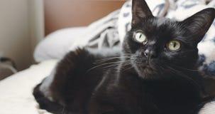 Close-upportret van een zwart-witte huiskat stock video