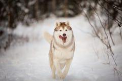 Close-upportret van gelukkige en gekke Siberische schor hond met tonque die uit het lopen op de sneeuw in het de winterbos hangen stock foto's