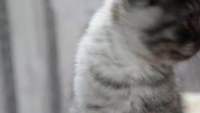 Close-upportret van grijs katje van Brits ras stock videobeelden