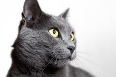 Close-upportret van grijze die kat op wit wordt geïsoleerd Stock Afbeelding