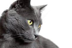 Close-upportret van grijze die kat op wit wordt geïsoleerd Stock Fotografie