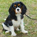 Close-upportret van het ras van Charles Spaniel van de hond Arrogante Koning Royalty-vrije Stock Afbeelding