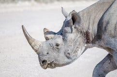 Close-upportret van hoofd van Afrikaanse zwarte rinoceros met slaglittekens en verwondingen, het Nationale Park van Etosha, Namib royalty-vrije stock afbeelding