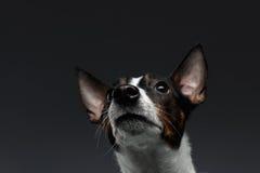 Close-upportret van Jack Russell Terrier Dog Looking omhoog royalty-vrije stock afbeelding