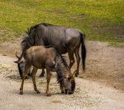 Close-upportret van jeugd getijgerd GNU met de ouder op de achtergrond, gemeenschappelijke antilopespecie van Afrika royalty-vrije stock foto's