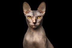Close-upportret van Knorrige Sphynx-Kat, vooraanzicht, Geïsoleerde Zwarte Stock Afbeelding