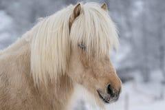 Close-upportret van lichtbruin Ijslands paard stock fotografie