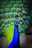 Close-upportret van mannelijke pauw stock afbeeldingen