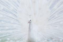 Close-upportret van mannelijke pauw Royalty-vrije Stock Afbeelding