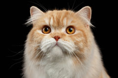 Close-upportret van Rode grote Perzische Cat Angry Looking op zwarte royalty-vrije stock foto