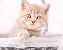 Close-upportret van rode Schotse kat Stock Foto's