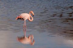 Close-upportret van roze flamingo Royalty-vrije Stock Afbeeldingen
