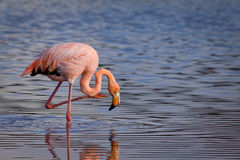 Close-upportret van roze flamingo Stock Foto's