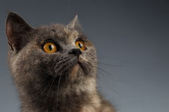 Close-upportret van Schotse Cat Looking omhoog op Grijs stock afbeelding