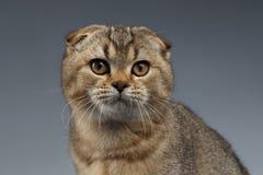 Close-upportret van Schotse Vouwen Cat Looking in camera op Grijs royalty-vrije stock fotografie